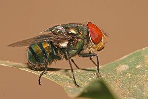 Calliphoridae - Male Chrysomya megacephala