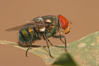 Calliphoridae Family of insects in the Diptera order