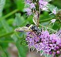 Chrysotoxum bicinctum - Flickr - gailhampshire (5).jpg