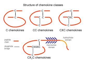 Chemokine - The four chemokine subfamilies