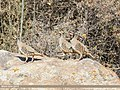 Chukar Partridge (Alectoris chukar) (41349978175).jpg