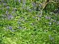 Chute Cadley - Bluebells - geograph.org.uk - 790014.jpg