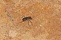 Cicindelidae 9043.jpg