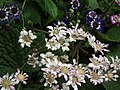 Cineraria from Lalbagh flower show Aug 2013 8220.JPG