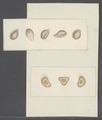 Cinetochilina spec. - - Print - Iconographia Zoologica - Special Collections University of Amsterdam - UBAINV0274 113 15 0063.tif