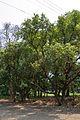 Cinnamomum camphora - Indian Botanic Garden - Howrah 2013-03-31 5726.JPG