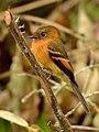 Cinnamon Flycatcher (Pyrrhomyias cinnamomeus).jpg