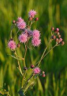 Cirsium arvense - põldohakas.jpg