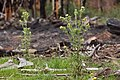 Cirsium parryi - Flickr - aspidoscelis (2).jpg