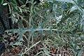 Cirsium vulgare - Mainz IMG 5745.JPG