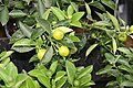Citrus mitis 2zz.jpg
