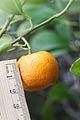 Citrus reticulata-Cleopatra IMG 2242.jpg