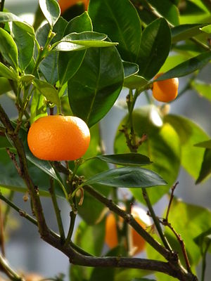 Mandarin orange - Image: Citrus reticulata April 2013 Nordbaden