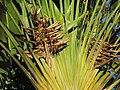 City Botanic Gardens Ravenala madagascariensis IMG 3592 (5555650294).jpg