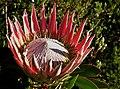Ciudad del Cabo, Kirstenbosch NBG 14.jpg