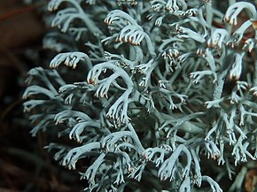 Description de l'image Cladonia rangiferina 1.jpg.
