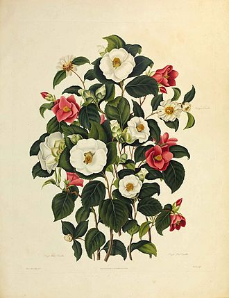 Clara Maria Pope - Illustration of camellias by Clara Maria Pope for Samuel Curtis's Monograph on the Genus Camellia, c. 1819.