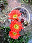 Claret cup cactus in a pot.jpg