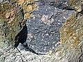 Clast-rich impact pseudotachylite (Sudbury Breccia, Paleoproterozoic, 1.85 Ga; Windy Lake Northwest roadcut, Sudbury Impact Structure, Ontario, Canada) 15 (47739461951).jpg