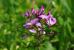 Cleome spinosa 2012.jpg