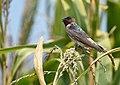 Cliff Swallow - juvenile (30204391728).jpg