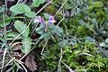 Clinopodium vulgare Wild Basil მოპიტნაო.JPG