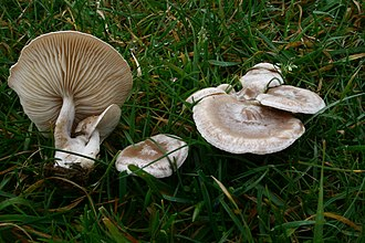 Mushroom hunting - Clitocybe rivulosa is an example of a deadly mushroom species sometimes misidentified as an edible species.