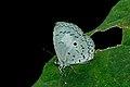 Close wing basking of Lestranicus transpectus Moore, 1879 – White-banded Hedge Blue WLB DSC 0032.jpg