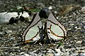 Close wing position of Charaxes eudamippus Doubleday, 1843 – Great Nawab WLB .jpg