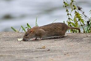 Wanderratte (Rattus norvegicus)