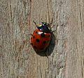 Coccinella (Spilota) undecimpunctata (11-spot ladybird).jpg