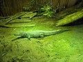 Coccodrillo del nilo Safari Ravenna 02.jpg