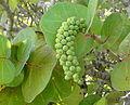 Coccoloba uvifera.jpg
