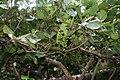 Coccoloba uvifera 6.jpg