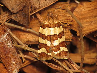 <i>Cochylis</i> Genus of tortrix moths