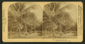 Cocoanut (Coconut) trees, Fla. Palmas de Coco, Fla., U.S.A, from Robert N. Dennis collection of stereoscopic views.png