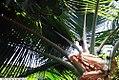 Cocos nucifera 26zz.jpg