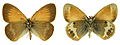 Coenonympha arcania SLU.JPG