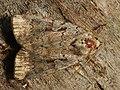 Coenophila subrosea - Rosy marsh moth - Земляная совка розоватая (40186751835).jpg