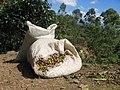 Coffee harvested costa rica.jpg