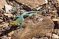 Collared Lizard (9474244748).jpg