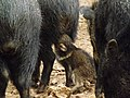 Collared Peccary baby suckling 01.jpg