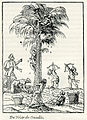 Collection of fruits of a palm tree in Egypt - Thevet André - 1556.jpg