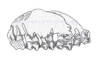 Colombitherium - Jawbone of C. tolimense