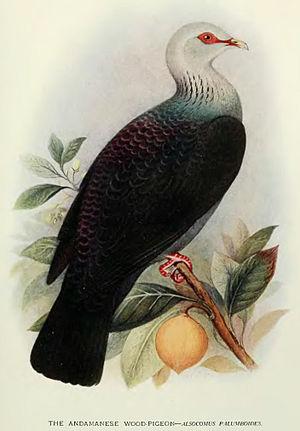 Andaman wood pigeon - Image: Columba Palumboides