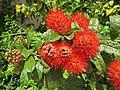 Combretum constrictum - Powderpuff Combretum 2014 (17).jpg