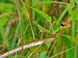 Common Bronze-back (Dendrelaphis pictus) (6975170978).jpg