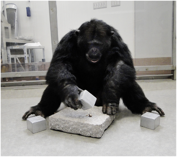 Common Chimpanzee uses cuboid tool in the lab.png