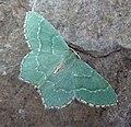 Common Emerald. Hemithea aestivaria - Flickr - gailhampshire (2).jpg