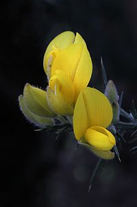 Common Gorse (Ulex europaeus) flowers close up T2i IMG 101 0837 NR edit.JPG
